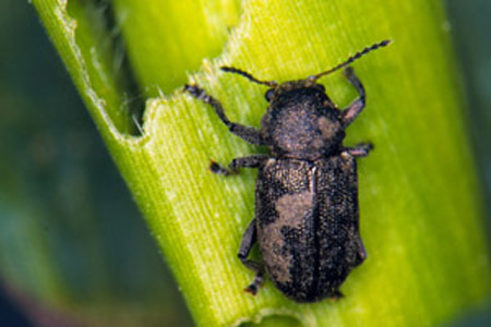 maize diseases a guide for field identification